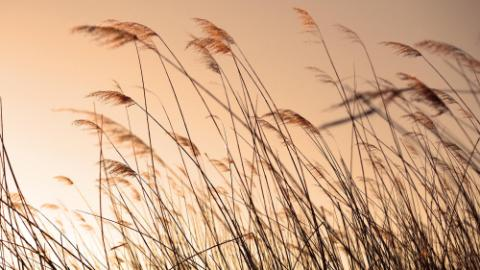 bulrush silhouette at sunset