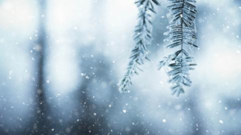 Winter background with pine twigs and falling snow