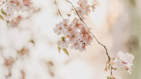 Cherry blossoms, Spring